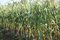 Knoblauch auf dem Gebiet, Liliaceae Lizenzfreie Stockfotografie