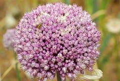 Knoblauch-Blume lizenzfreie stockfotografie