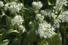 Knoblauch-Blumen Stockfotografie