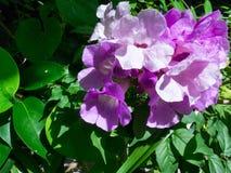 Knoblauch-Blumen Lizenzfreies Stockfoto