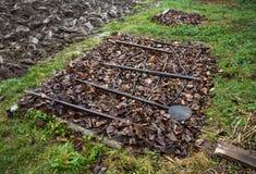 Knoblauch coverd durch Blätter im Garten Stockfotos