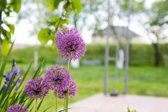 Knoblauch in der Blüte Lizenzfreie Stockfotos