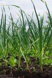 Knoblauch lässt das Wachsen im Garten lizenzfreies stockfoto