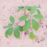 Knoblauch-Rebstock oder Mansoa-alliacea, Pachyptera-hymennaea auf Th Lizenzfreie Stockfotos