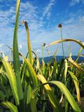 Knoblauchblume mit lanscape- Bild lizenzfreies stockfoto