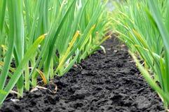Knoblauchplantage Lizenzfreies Stockbild