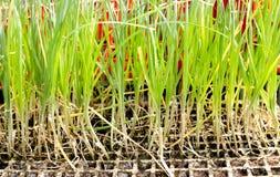 Knoblauchzwiebel keimt die Anlagen, die für das Pflanzen vorbereitet werden Stockbild
