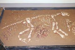 Knochen des Dinosauriers im Sand Stockfotografie