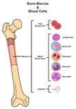 Knochenmark u. Blutzellen Stockbilder