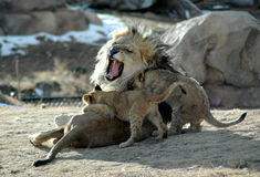 Knock it off! lion family Royalty Free Stock Photography