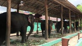 KNOCK-OUT CHANG, THAÏLANDE - 14 AVRIL 2018 : Les éléphants obtiennent le repos dans l'interdiction Changthai banque de vidéos