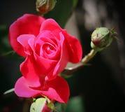 Knock-out Rose 4 Lizenzfreies Stockfoto