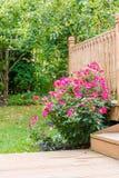 Knock out rose bush in the garden Royalty Free Stock Photos