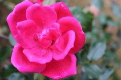 Knock out rose Royalty Free Stock Images