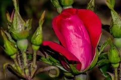 Knockout αυξήθηκε σκιά οφθαλμών λουλουδιών Στοκ Φωτογραφίες