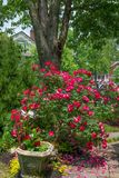 Knockout τριαντάφυλλα Στοκ Φωτογραφία