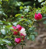 Pink fuschia variegated Knockout roses and buds. Knockout rose garden with fuchsia colored roses and one variegated rose in the center. Real beauties stock photography