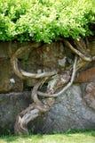 Knoestige boom en steenmuur  Royalty-vrije Stock Afbeeldingen