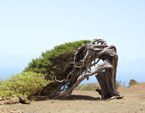 Knoestige jeneverbessenboom die door de wind wordt gevormd royalty-vrije stock afbeeldingen