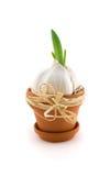 Knoflook in bloempot met groene spruit royalty-vrije stock afbeelding