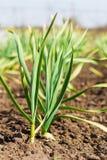 Knoflook het groeien in de tuin Stock Afbeelding