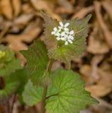 Knoflook-mosterd - Alliaria-petiolata Royalty-vrije Stock Foto