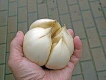 Knoflook van de olifant (ampeloprasum van het Allium) 2 Royalty-vrije Stock Foto's