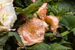 Knolachtige begonia's Royalty-vrije Stock Foto