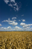 Knoll Down with ripe cereal crop. Summer scene on Knoll Down, Wiltshire, with wheat in the foreground and blue sky with nice clouds Royalty Free Stock Image