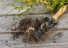 Knollen und Birnenlilien Stockfotografie