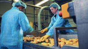 Knollen von Kartoffeln bewegen sich entlang den Gurt und erhalten Schnitt stock video footage