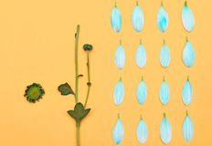 Knolling. Blue daisy. On yellow background Royalty Free Stock Images