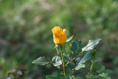 Knop het gele rozen bloeien Stock Afbeelding