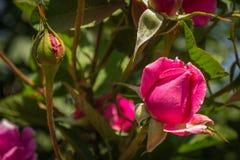 Knop purpere rozen Royalty-vrije Stock Foto