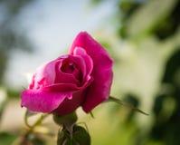 Knop purpere rozen Stock Foto