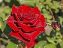 Knop rode rozen Royalty-vrije Stock Afbeeldingen