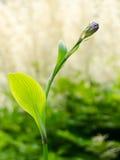 Knop van blauwe bloem met vage achtergrond Royalty-vrije Stock Foto's