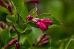 Knop van de rode bloemen van Weigela Florida in botanisch park Vage achtergrond royalty-vrije stock foto