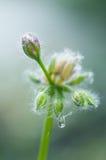 Knop van een geranium Royalty-vrije Stock Foto's
