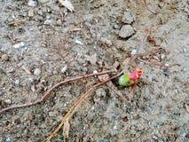 Knop van een tulp stock fotografie
