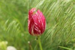 Knop van een Tulp onder selnaugras Stock Foto's