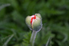 Knop van gesloten papaver bij onduidelijk beeldachtergrond Royalty-vrije Stock Foto