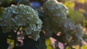 Knop van kleine witte bloemen stock afbeelding