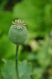 Knop van opium Stock Afbeelding