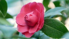 Knop van roze camelia in een serre stock video
