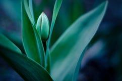Knop van tulp met zachte nadruk en vage achtergrond Royalty-vrije Stock Afbeeldingen