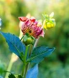 Knopdahlia in tuin Royalty-vrije Stock Foto