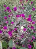 Knopfblumen stockfoto