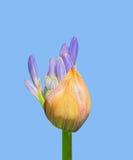 Knopp av agapanthusen Royaltyfria Bilder