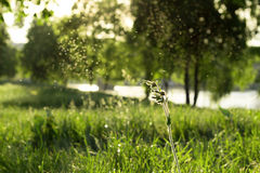 Knopp av den Silene latifoliaen Fotografering för Bildbyråer